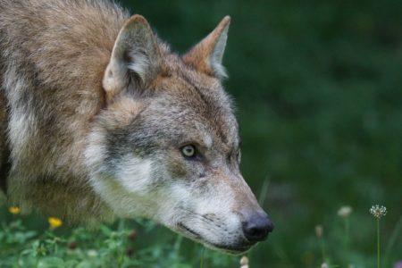 Wolf - Drang
